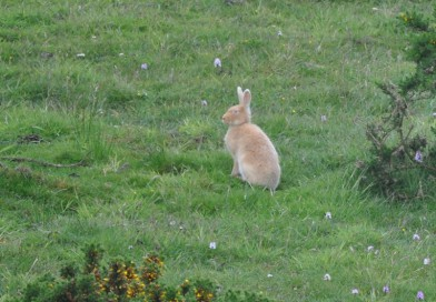 The Irish Golden Hare