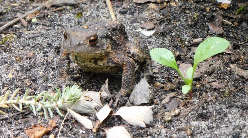 Erdkröte klein